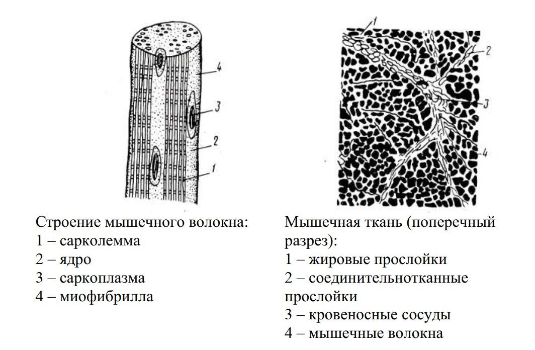 строение мышечного волокна и мышечная ткань