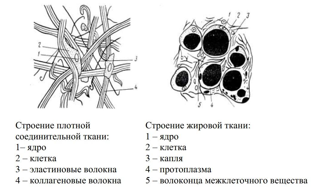 строение соединительной и жировой ткани
