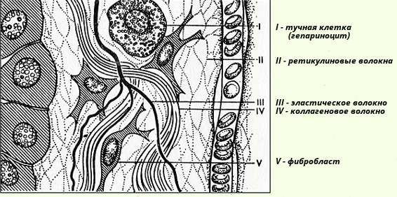 Строение соединительной ткани