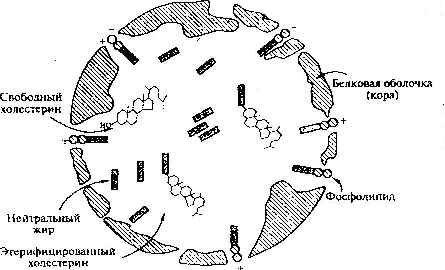 Структурные компоненты хиломикрона