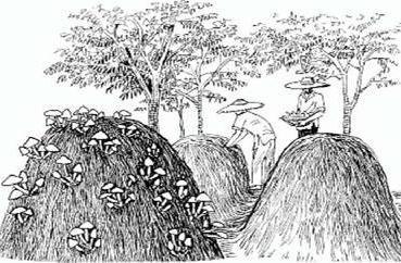 Возделывание вольвариеллы на штабелях соломы