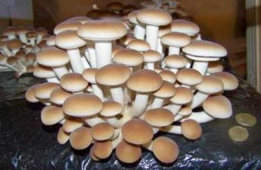 Выращивание гриба на питательном субстрате в защищенном грунте