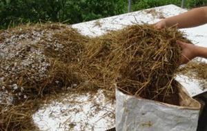 Выращивание вешенки на соломе
