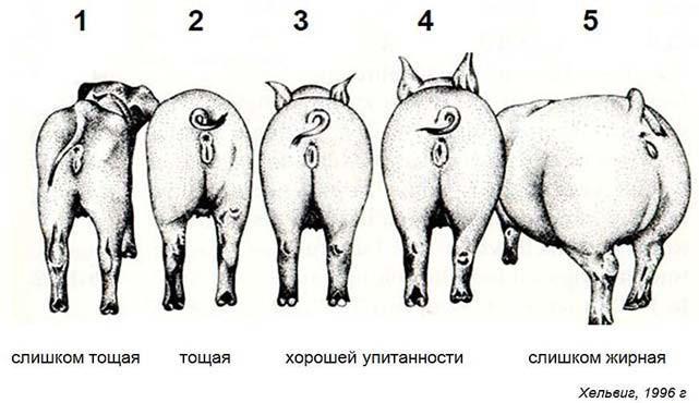 Части тела свиньи, по которым определяется упитанность