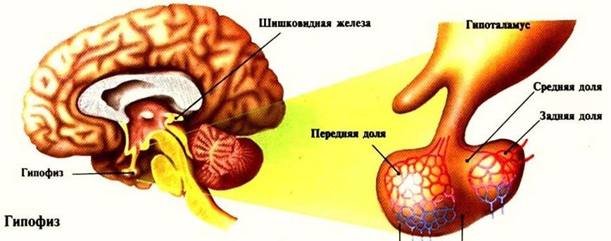 Эндокринные железы в черепной полости