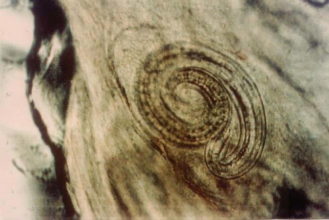 Личинка трихинеллы в мышцах лисицы