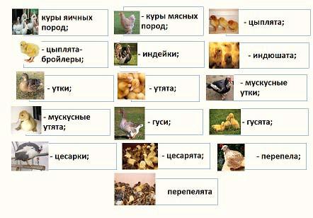 Осуществление ветеринарного контроля при приеме птицы