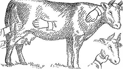 Предубойный осмотр крупного рогатого скота