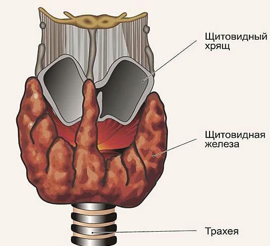 Схема расположения щитовидной железы