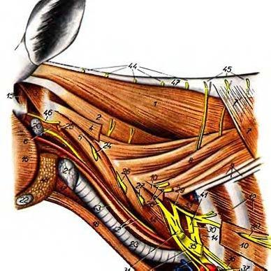 Щитовидная железа коровы