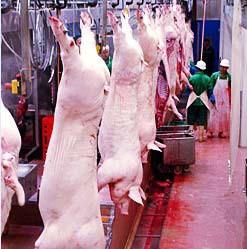 Вертикальное обескровливание свиней