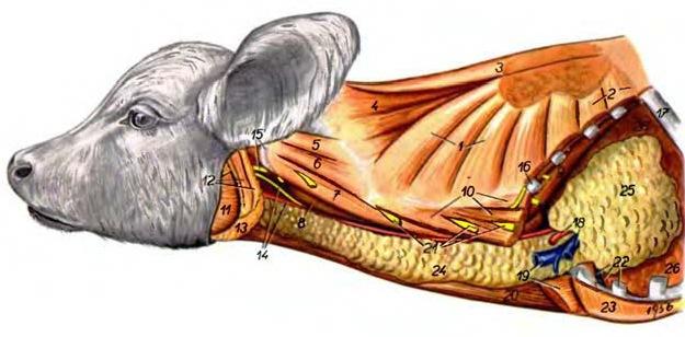 Зобная железа новорожденного теленка