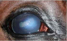 Бельмо глаза у лошади