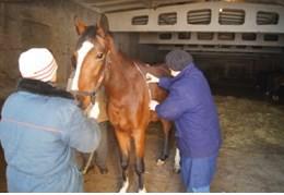 Измерение мерной лентой обхвата груди лошади