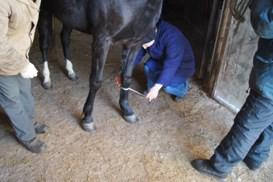 Измерение мерной лентой обхвата пясти лошади