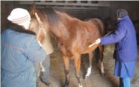 Измерение мерной палкой косой длины туловища лошади