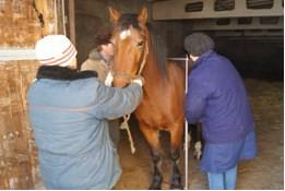 Измерение мерной палкой высоты в холке лошади