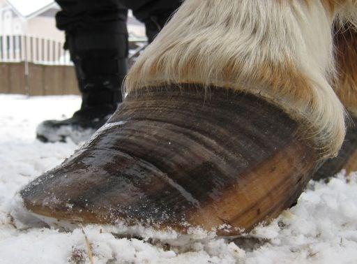 Кольчатое (ежовое) копыто лошади