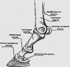 Кости нижней части ноги лошади
