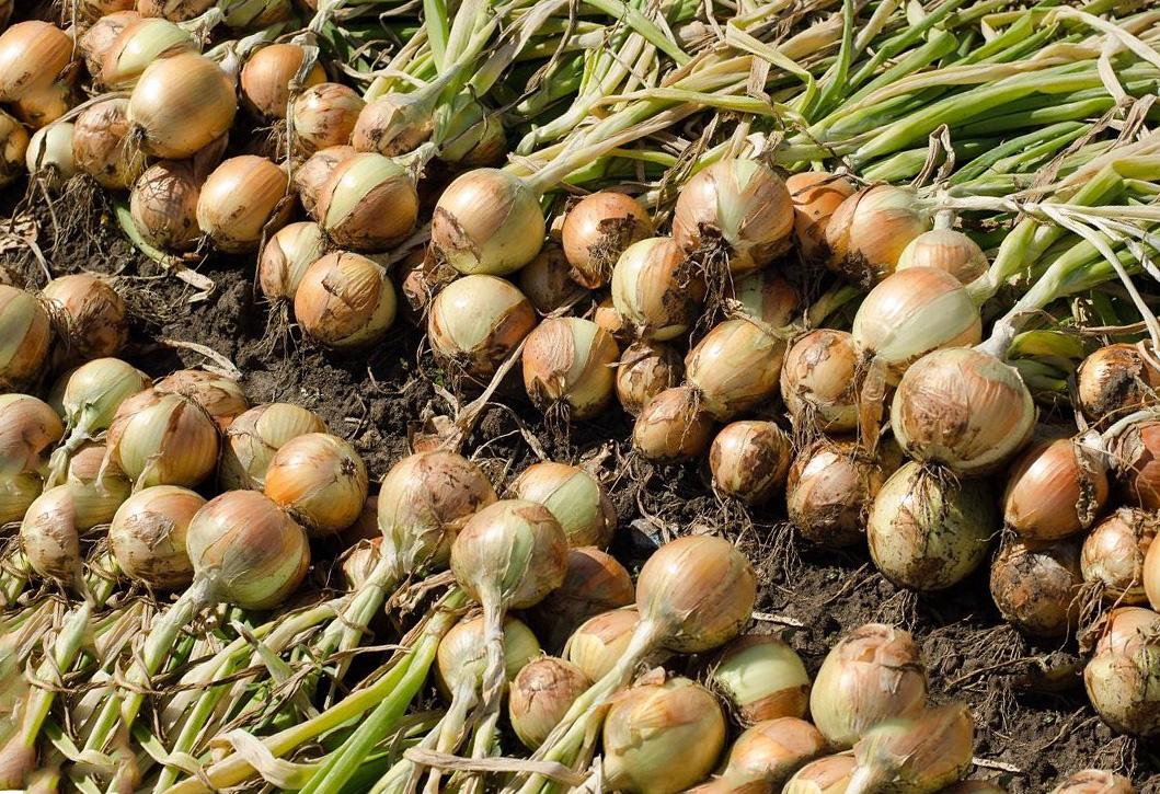 Луковые овощные культуры. Технология выращивания