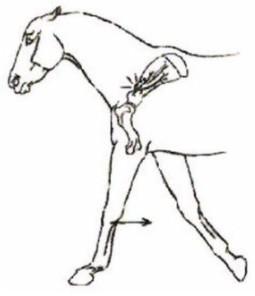 Односторонняя атрофия мускулатуры правого или левого плеча, хромота