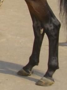 Расположение каштана на задней ноге лошади
