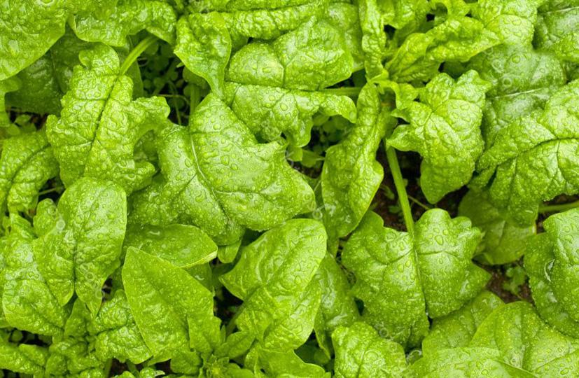 Зеленные овощные культуры. Технологии выращивания
