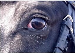 Сорочий глаз у лошади