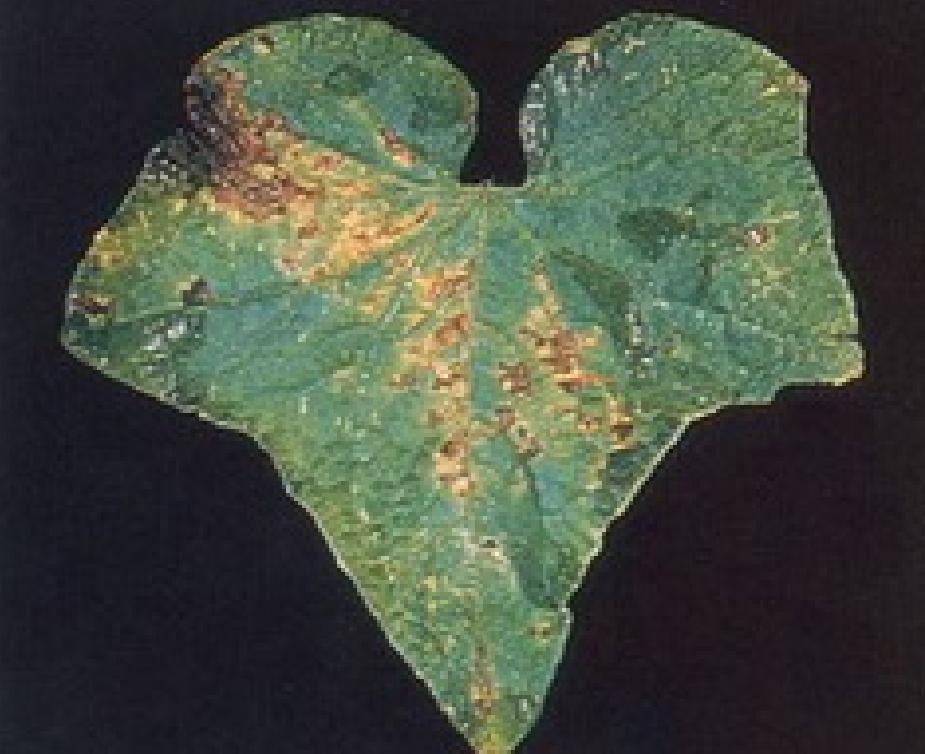 Бактериоз огурца (угловая пятнистость)