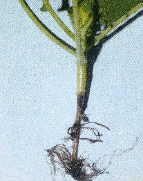Черная ножка – поражена прикорневая часть стебля