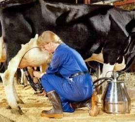 Доение коров в переносные доильные ведра