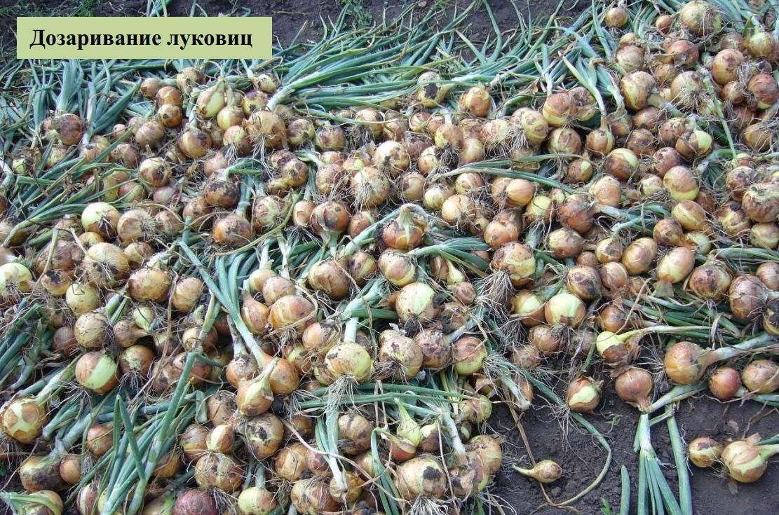 Дозаривание луковиц