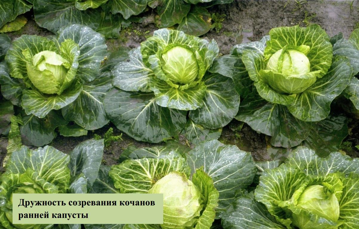 Дружность созревания кочанов ранней капусты