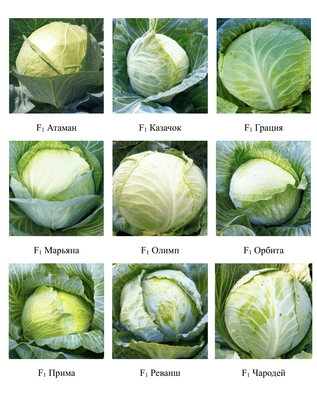 Гибриды капусты белокочанной