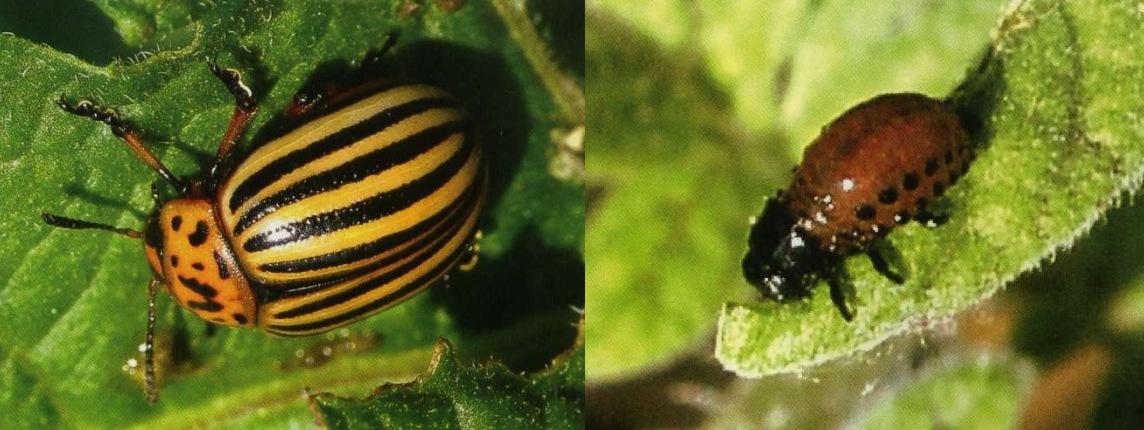 Колорадский жук и личинка