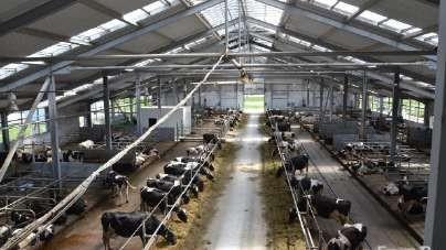 Коровы в секциях при беспривязном содержании
