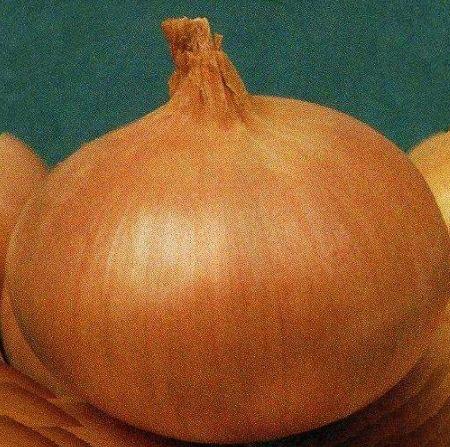 Луковица сорта Каратальский