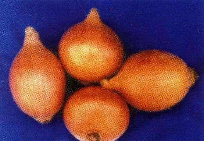 Луковицы сорта Эльдорадо