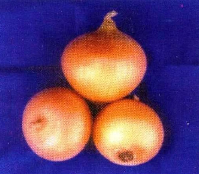 Луковицы сорта Стимул