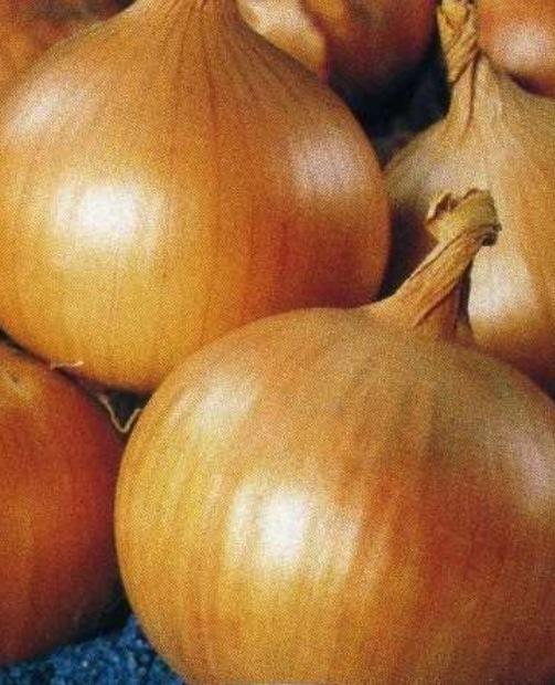 Луковицы сорта Стригуновский