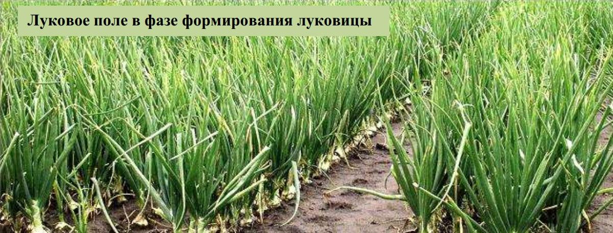 Луковое поле в фазе формирования луковицы