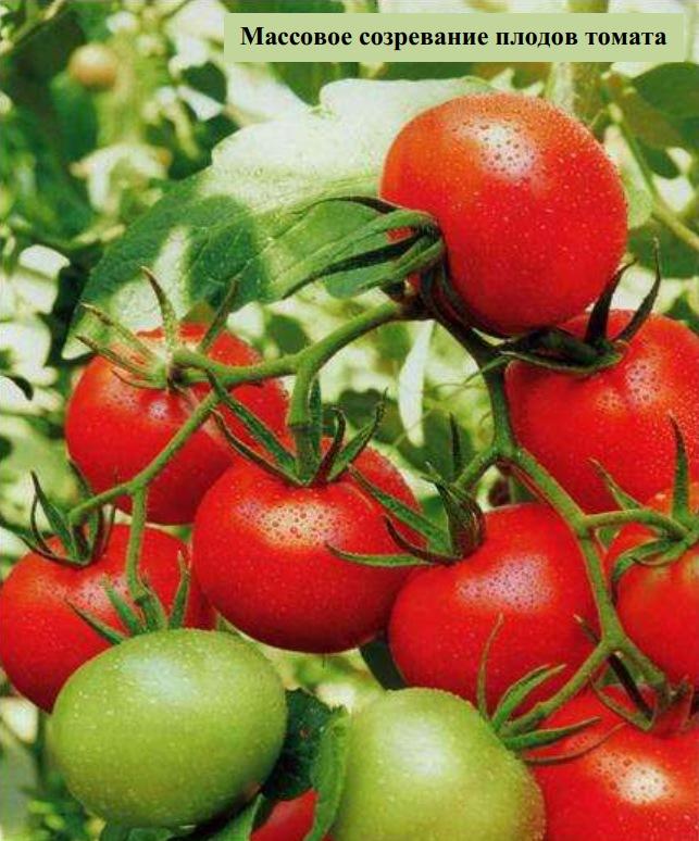 Массовое созревание плодов томата