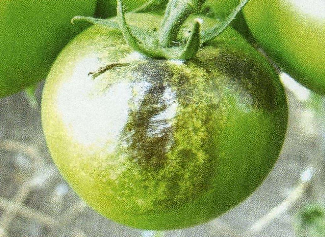 Начало развития фитофтороза на плоде