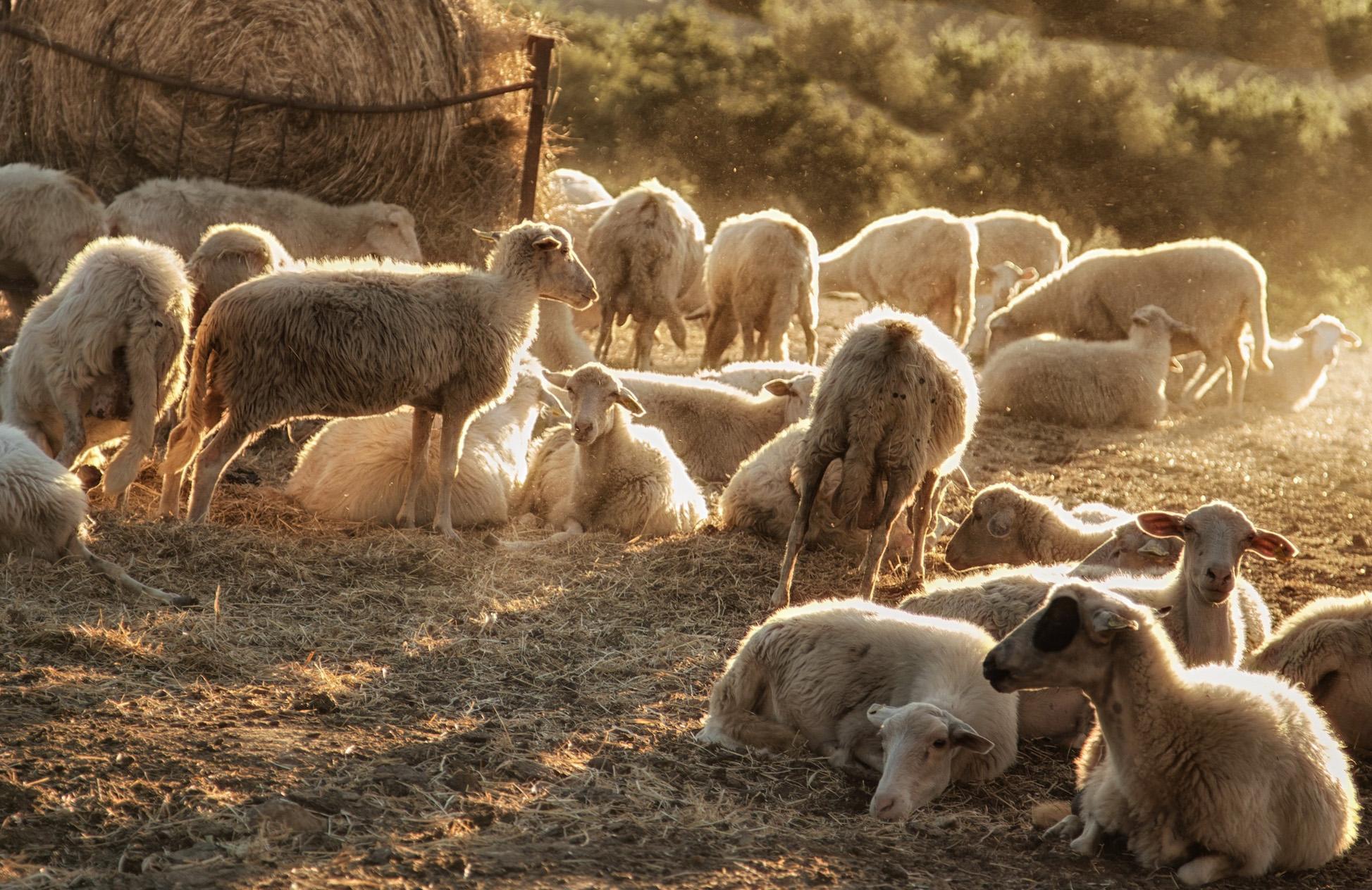 Овцеводство как отрасль сельскохозяйственного производства