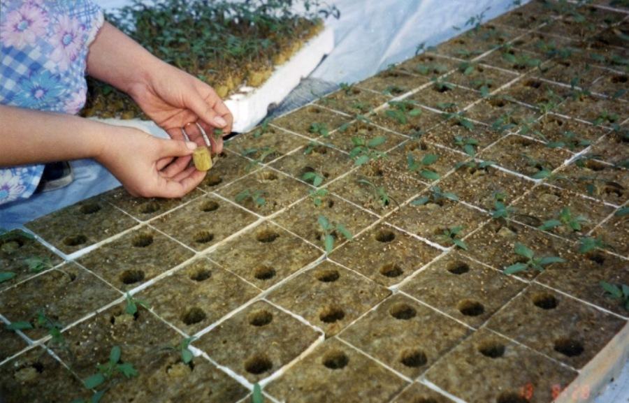 Пикировка (перевалка) сеянцев в кубики из минеральной ваты
