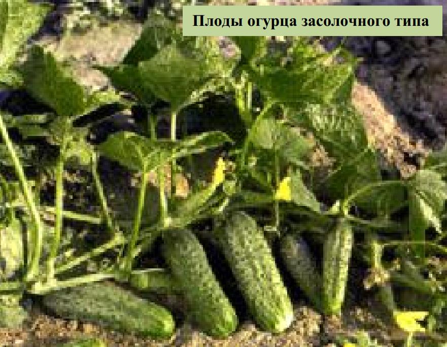 Плоды огурца засолочного типа