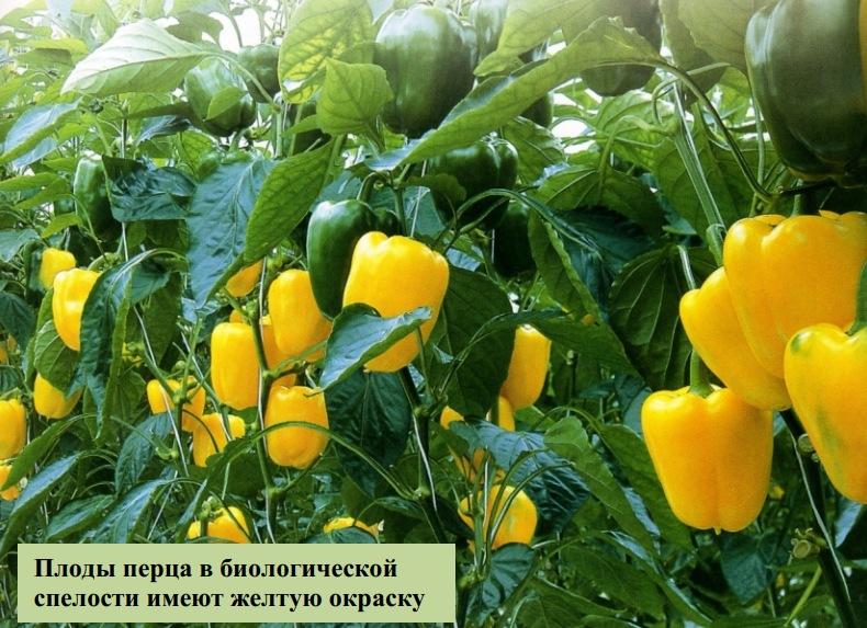 Плоды перца в биологической спелости имеют желтую окраску