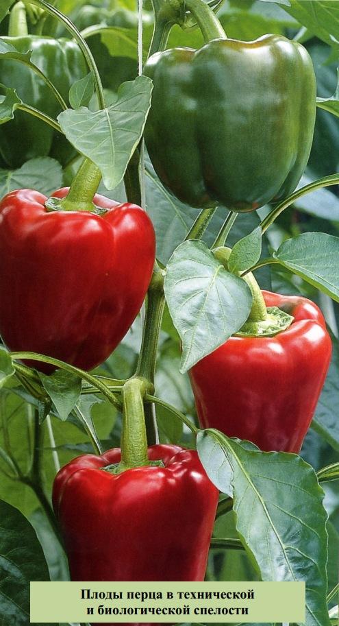 Плоды перца в технической и биологической спелости