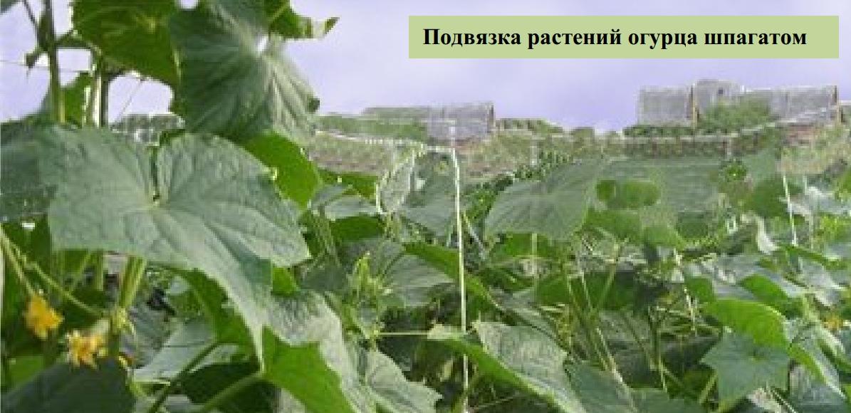 Подвязка растений огурца шпагатом