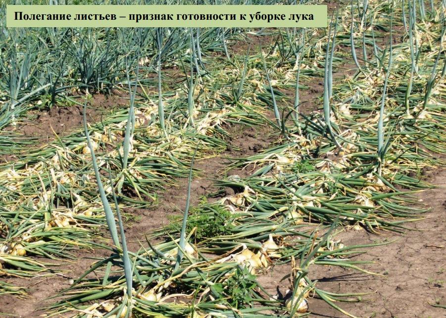 Полегание листьев – признак готовности к уборке лука